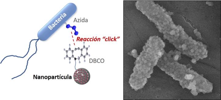 Bacterias para transportar nanopartículas cargadas con fármacos a tejidos tumorales