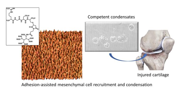La adhesión celular a la nanoescala es un factor clave para la producción de cartílago in vitro