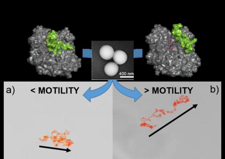 El control de la velocidad de los motores enzimáticos acerca el uso de nanorobots a su empleo en la biomedicina