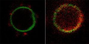 LipoBots: nanomotores más robustos para aplicaciones biomédicas desarrollados con tecnología de encapsulación