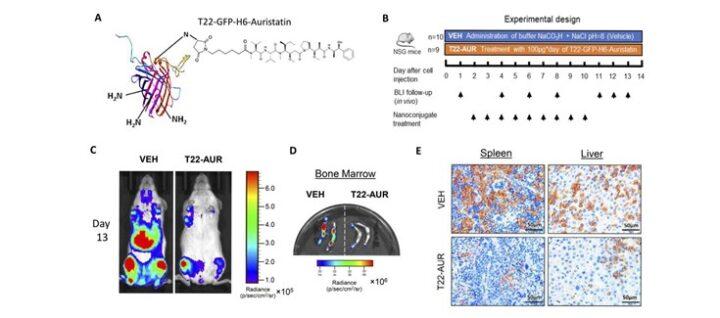 Logran un nanoconjugado dirigido a las células neoplásicas que bloquea la diseminación de la leucemia mieloide aguda
