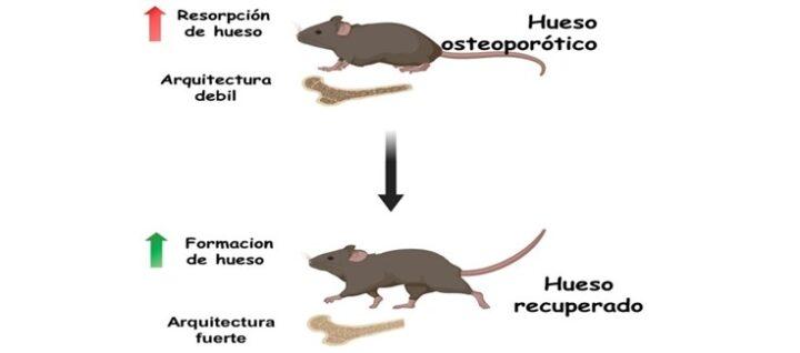 Desarrollan un nanosistema capaz de revertir la osteoporosis en modelos animales